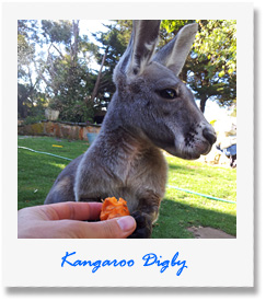 Digby - one of our animals at Pauls Place Wildlife Sanctuary / Park - Kangaroo Island