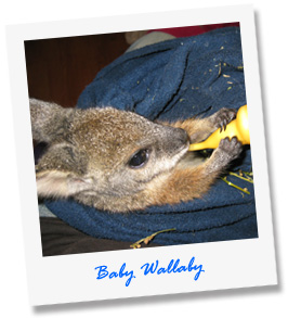 baby-wallaby