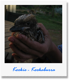 Kookie - one of our animals at Pauls Place Wildlife Sanctuary / Park - Kangaroo Island
