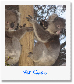 Pet Koala - one of our animals at Pauls Place Wildlife Sanctuary / Park - Kangaroo Island